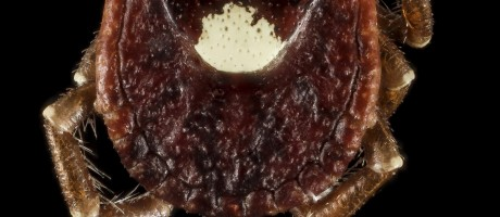 How a Tick Bite Can Lead to Food Allergies